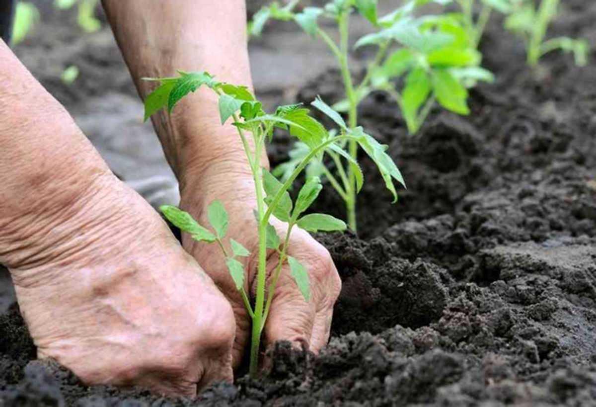 Когда высаживать рассаду помидор в открытый грунт: схема и сроки посадки томатов-2
