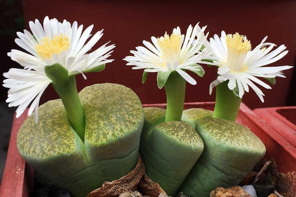 kaktusy-sukkulenty-foto-video-samye-neobychnye-sukkulenty-vidy-i-nazvaniya-2