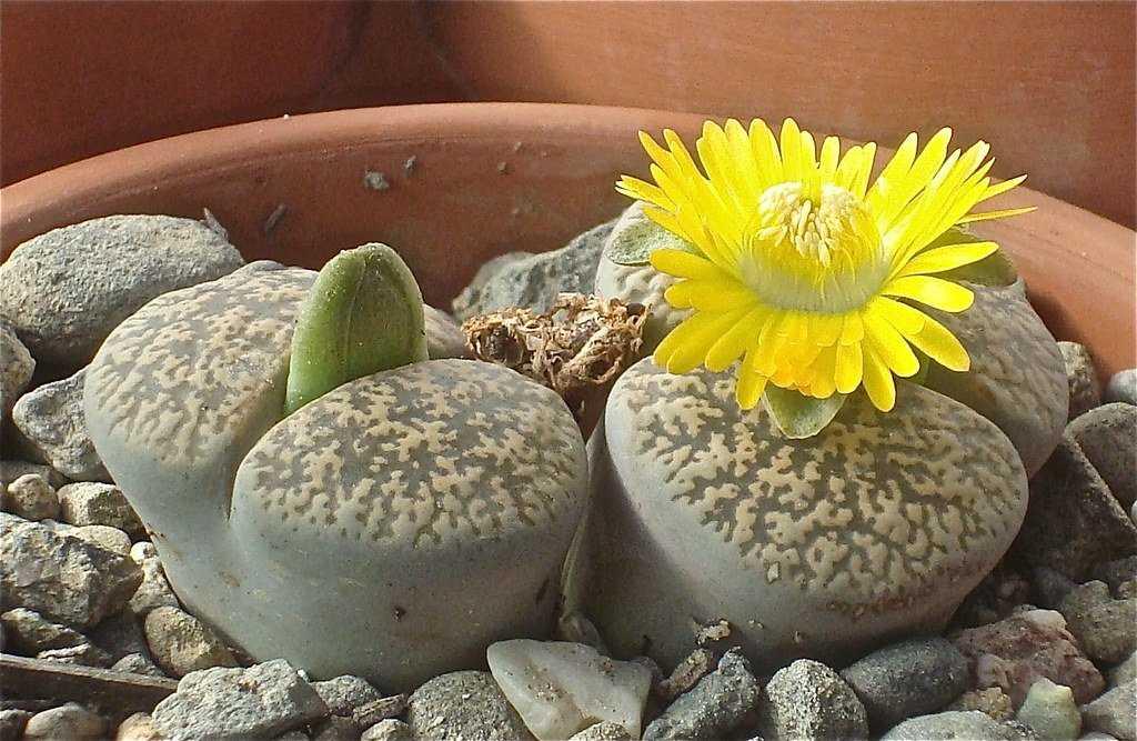 kaktusy-sukkulenty-foto-video-samye-neobychnye-sukkulenty-vidy-i-nazvaniya-3