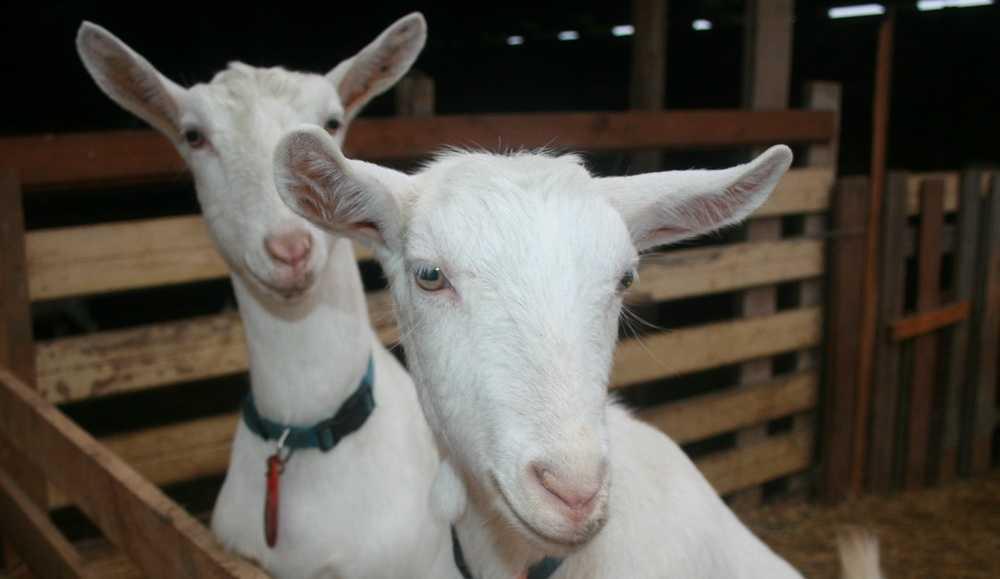 dojnye-kozy-foto-video-harakteristiki-opisanie-molochnoj-porody-5
