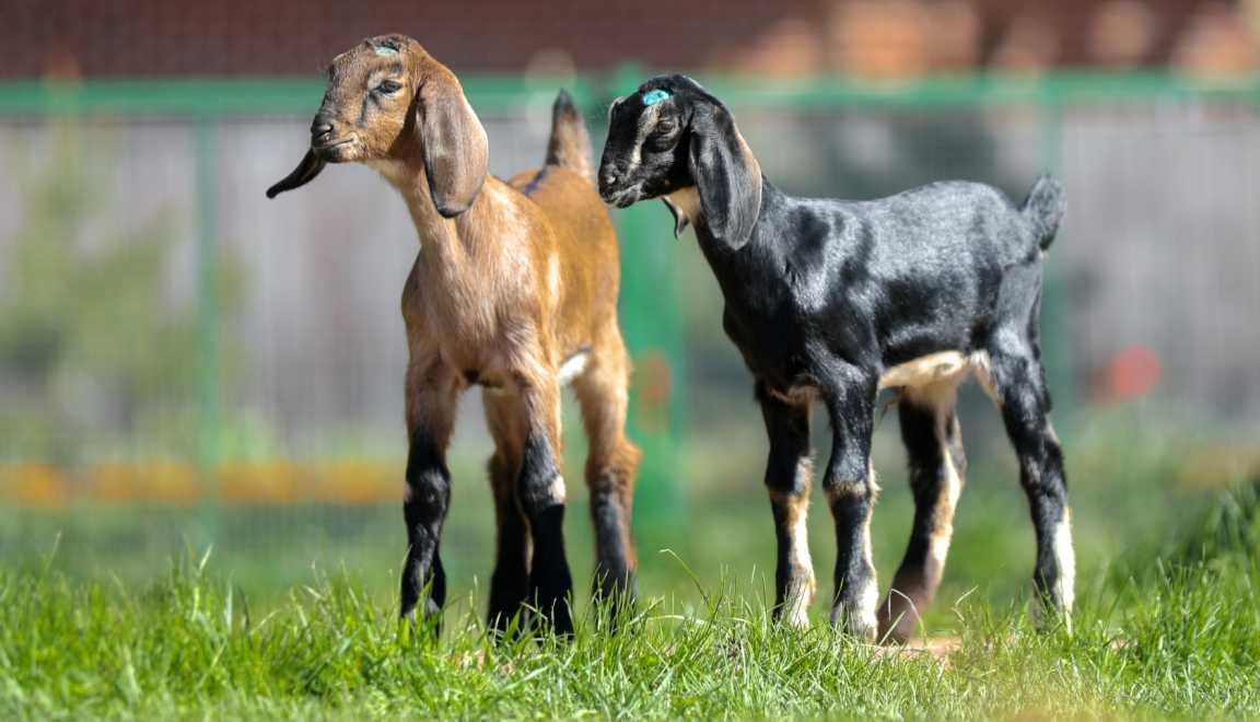 dojnye-kozy-foto-video-harakteristiki-opisanie-molochnoj-porody-15