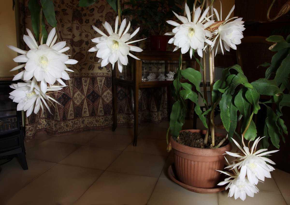 lesnoj-kaktus-foto-video-vidy-i-sorta-epifillyumov-razmnozhenie-i-uhod-2