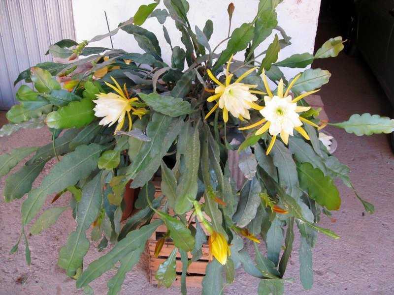lesnoj-kaktus-foto-video-vidy-i-sorta-epifillyumov-razmnozhenie-i-uhod-3