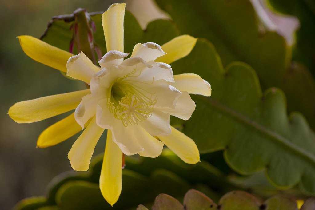 lesnoj-kaktus-foto-video-vidy-i-sorta-epifillyumov-razmnozhenie-i-uhod-4