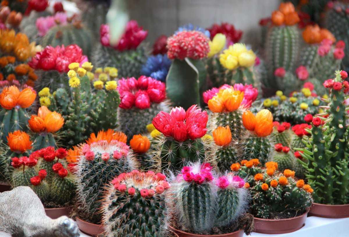 czvetenie-kaktusov-foto-video-komnatnye-sukkulenty-s-krasivym-czveteniem-1