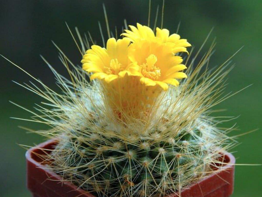 czvetenie-kaktusov-foto-video-komnatnye-sukkulenty-s-krasivym-czveteniem-2
