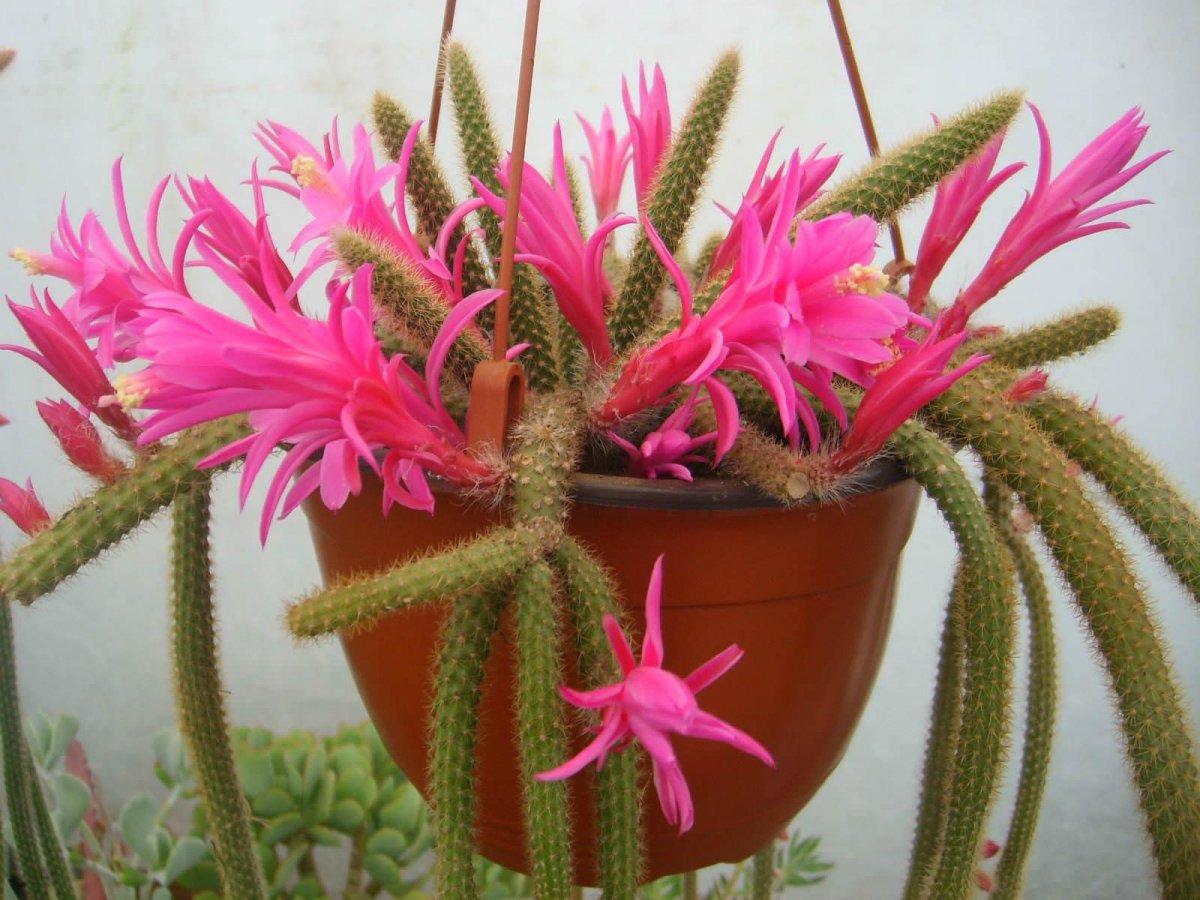 czvetenie-kaktusov-foto-video-komnatnye-sukkulenty-s-krasivym-czveteniem-11