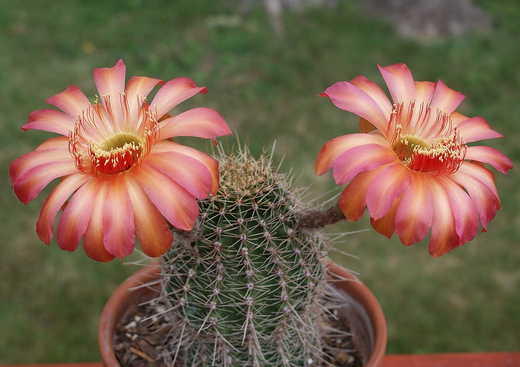 czvetenie-kaktusov-foto-video-komnatnye-sukkulenty-s-krasivym-czveteniem-4