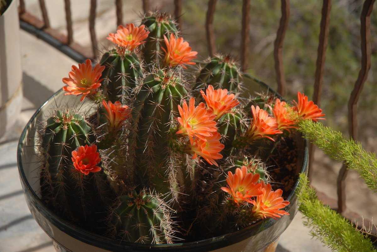 czvetenie-kaktusov-foto-video-komnatnye-sukkulenty-s-krasivym-czveteniem-5