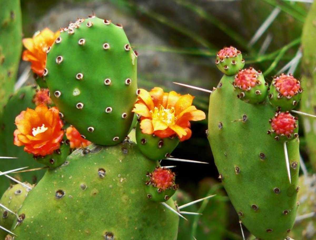 czvetenie-kaktusov-foto-video-komnatnye-sukkulenty-s-krasivym-czveteniem-7