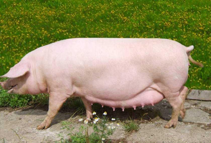 suporosnost-svini-foto-video-metody-opredeleniya-suporosnosti-svini-2