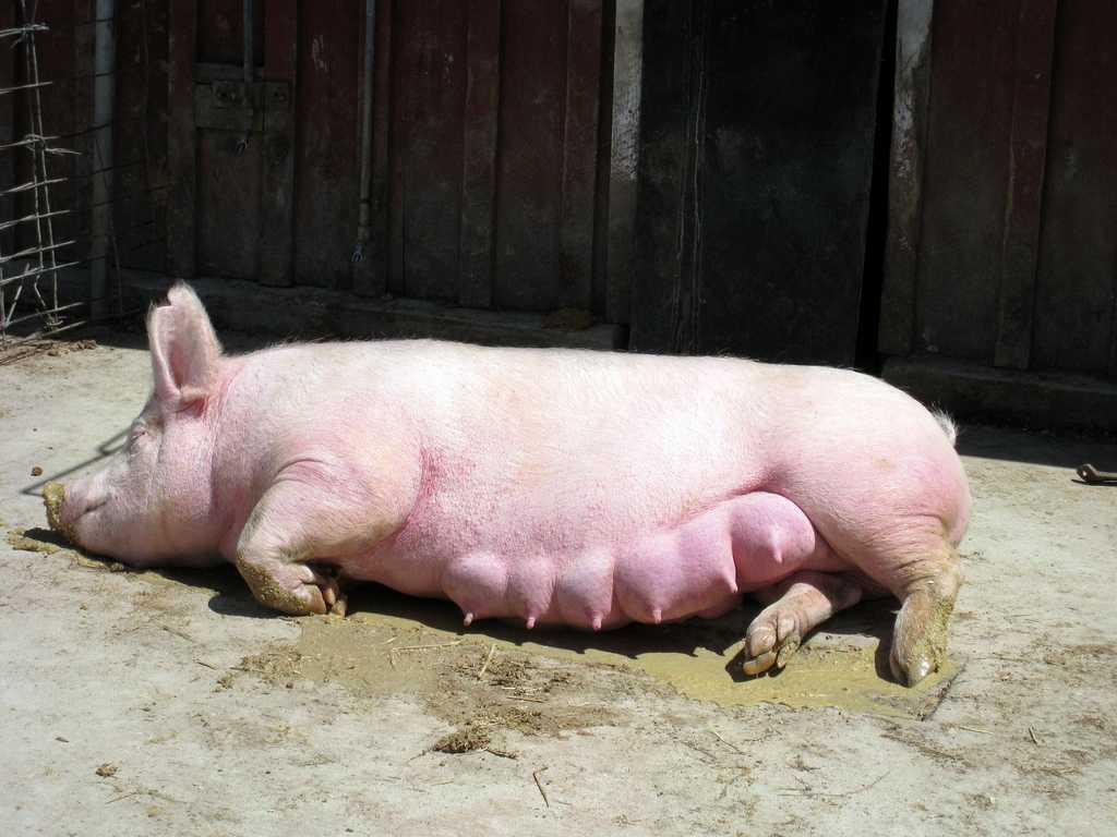 suporosnost-svini-foto-video-metody-opredeleniya-suporosnosti-svini