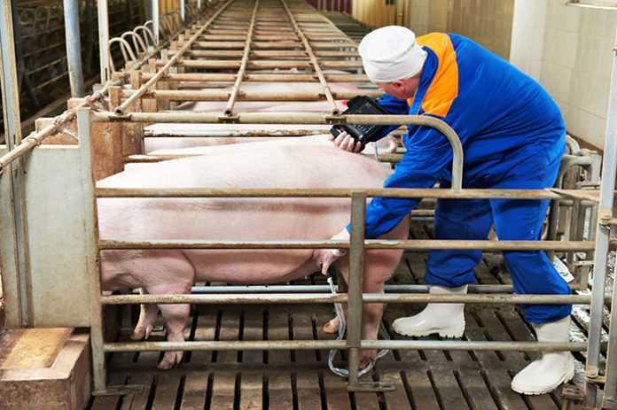 suporosnost-svini-foto-video-metody-opredeleniya-suporosnosti-svini-3