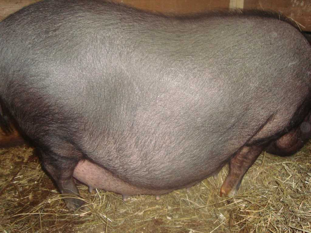 suporosnost-svini-foto-video-metody-opredeleniya-suporosnosti-svini5