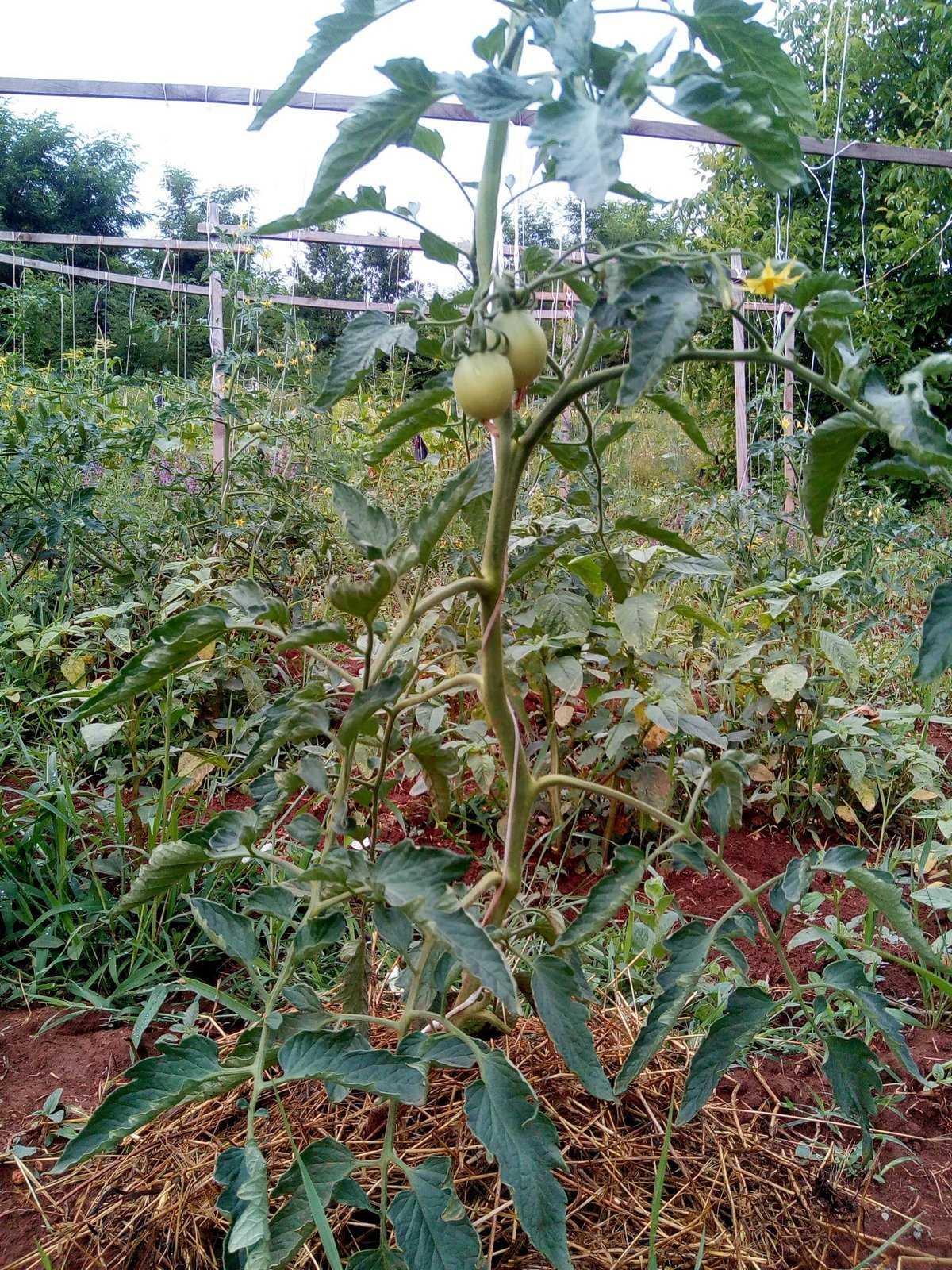 formirovanie-tomatov-foto-video-kak-prodlit-plodonosheniya-5