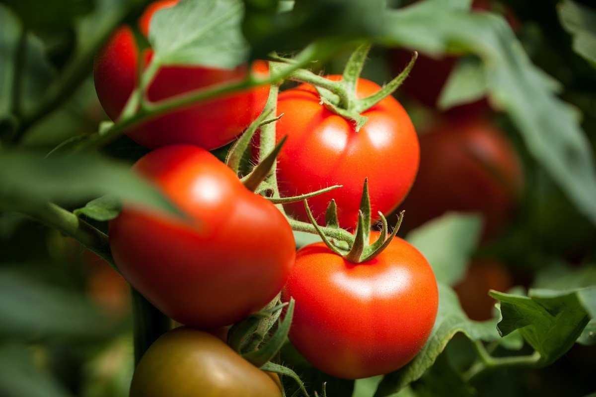 formirovanie-tomatov-foto-video-kak-prodlit-plodonosheniya-1