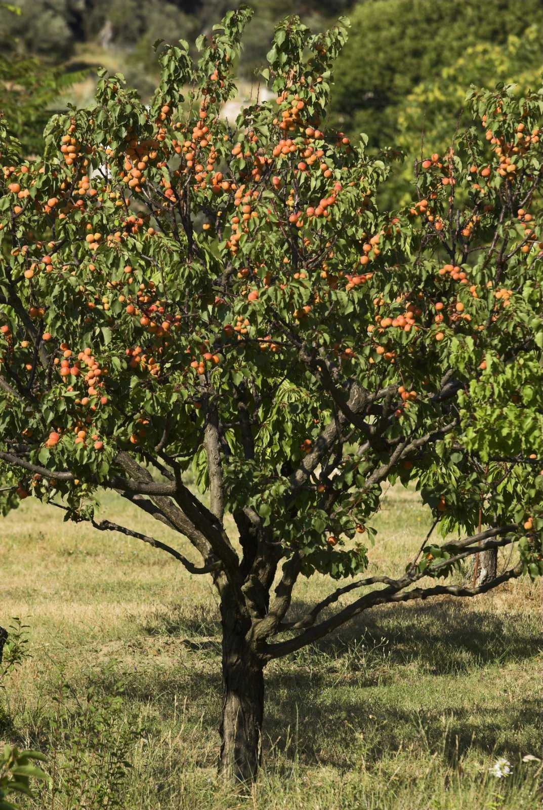 sorta-abrikosa-foto-video-uhod-za-abrikosom-vyrashhivanie-v-srednej-polose-2