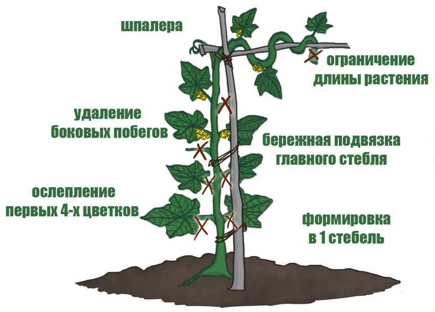 shpalera-dlya-ogurczov-foto-video-osobennosti-podvyazki-rastenij-11