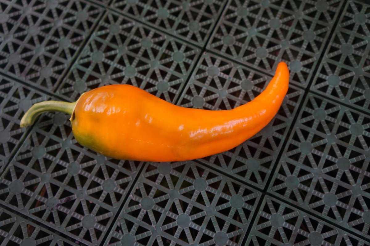 perecz-ramiro-foto-video-opisanie-vyrashhivanie-sladkogo-percza-4