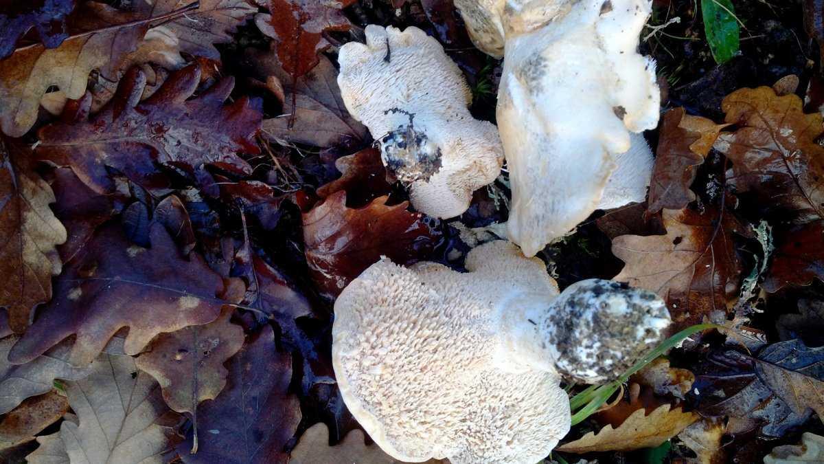 griby-korally-foto-video-maloizvestnye-vkusnye-i-poleznye-griby-16
