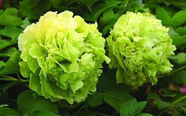 Грин Джейд. Форма цветков очень эффектна и неповторима. Она представляет собой бледно-зеленый бутон.