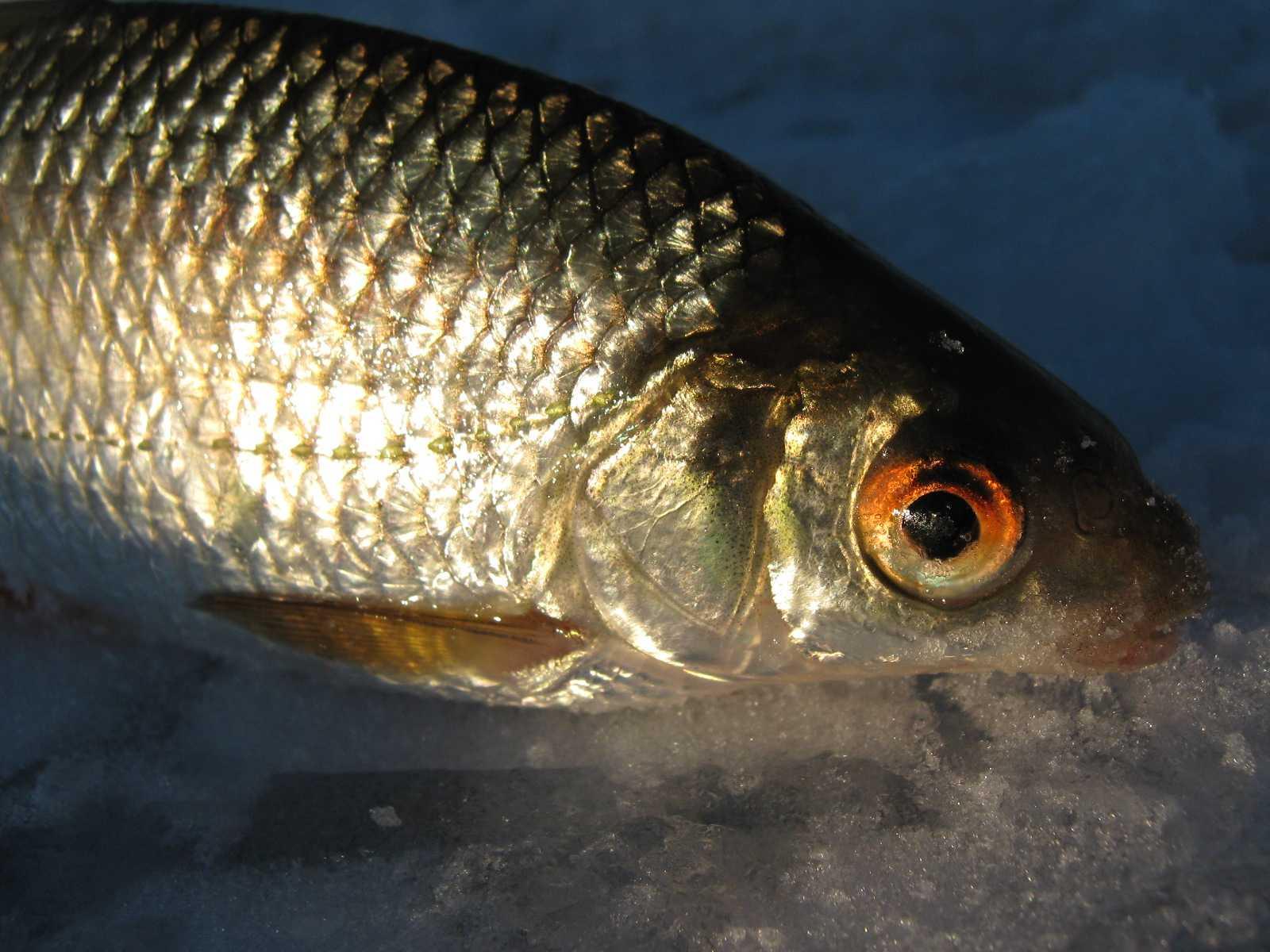 lovlya-plotvy-foto-video-pravila-i-sekrety-rybalki-na-plotvu-5