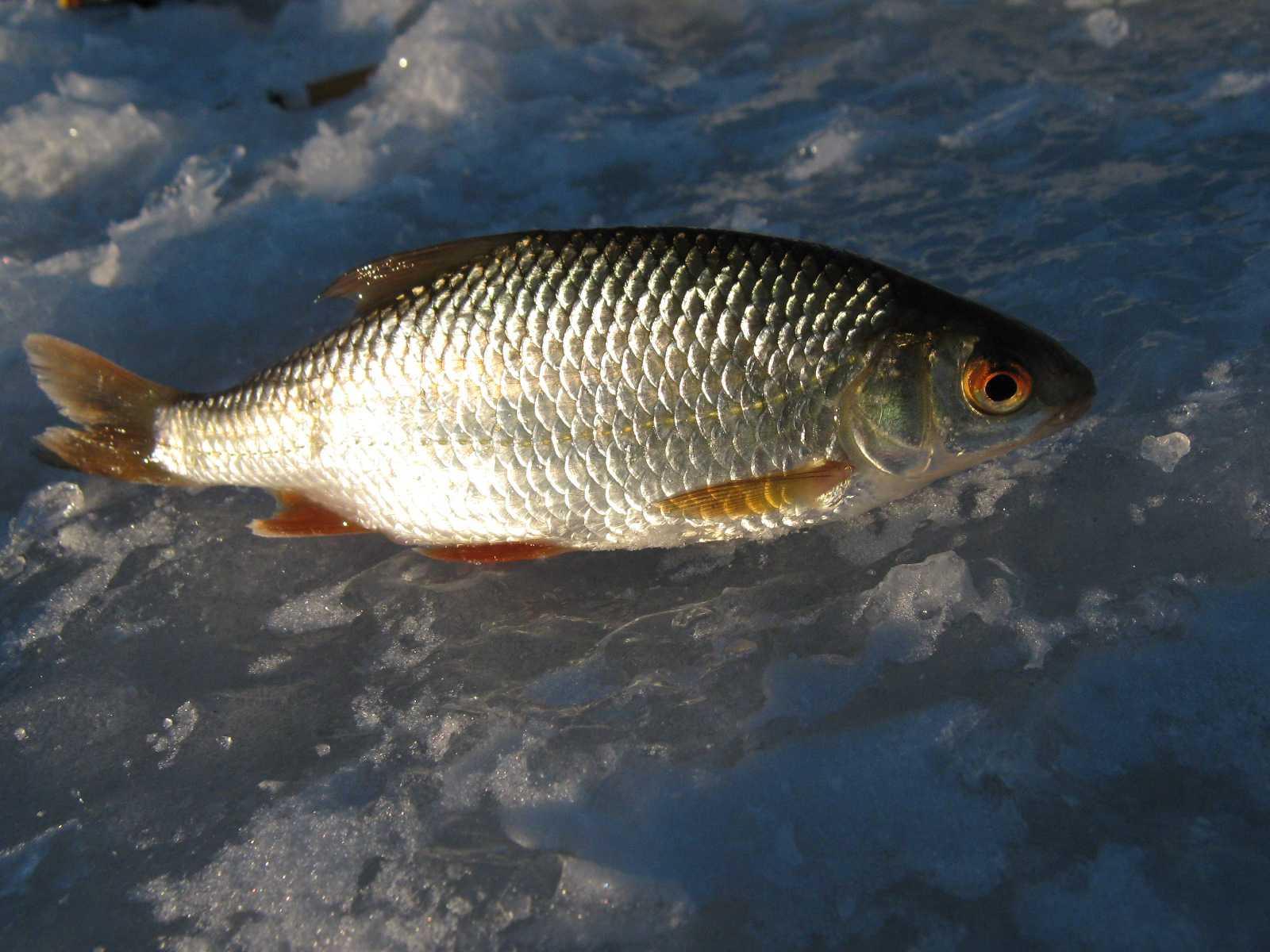 lovlya-plotvy-foto-video-pravila-i-sekrety-rybalki-na-plotvu-4