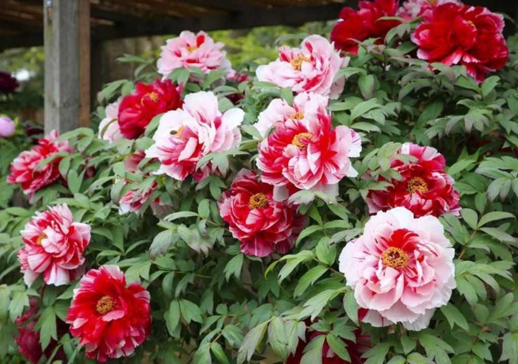Сестры Киао. Розовидные соцветия окрашены в 2 цвета, так, у него одна половинка темно-красная, а другая ― кремово-белая. Цветочек в диаметре достигает 16 сантиметров.
