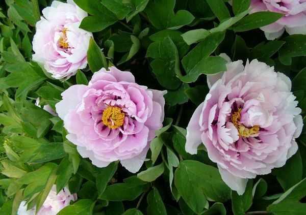 Сапфир. Диаметр светло-розовых цветочков, имеющих темно-малиновую середку, равен 18 сантиметрам. На кустике в одно и то же время может раскрыться около 50 цветков.