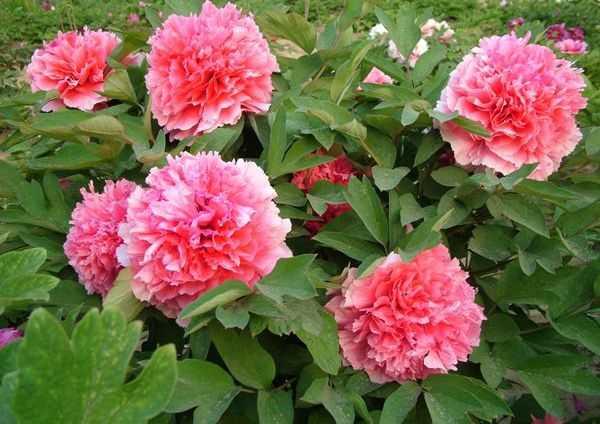 Коралловый алтарь. Корончатые цветочки окрашены в 2 цвета: в белый и лососевый одновременно. В диаметре они достигают не более 20 сантиметров.