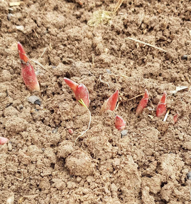 Агротехника выращивания пионов.
