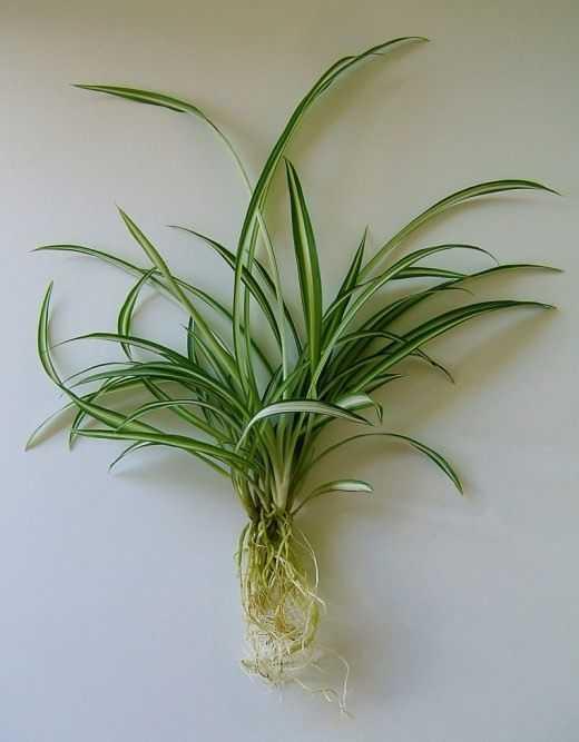 hlorofitum-foto-video-razmnozhenie-uhod-v-domashnih-usloviyah-3