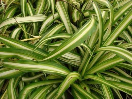 hlorofitum-foto-video-razmnozhenie-uhod-v-domashnih-usloviyah-4
