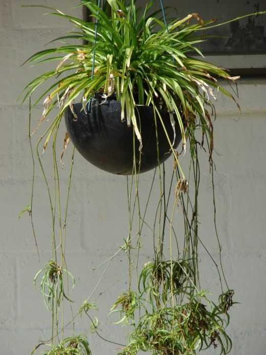 hlorofitum-foto-video-razmnozhenie-uhod-v-domashnih-usloviyah-2
