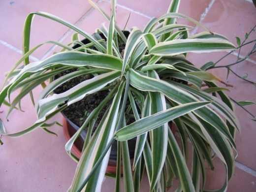 hlorofitum-foto-video-razmnozhenie-uhod-v-domashnih-usloviyah-5