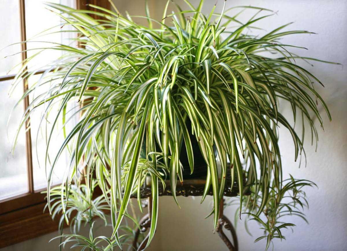hlorofitum-foto-video-razmnozhenie-uhod-v-domashnih-usloviyah-1