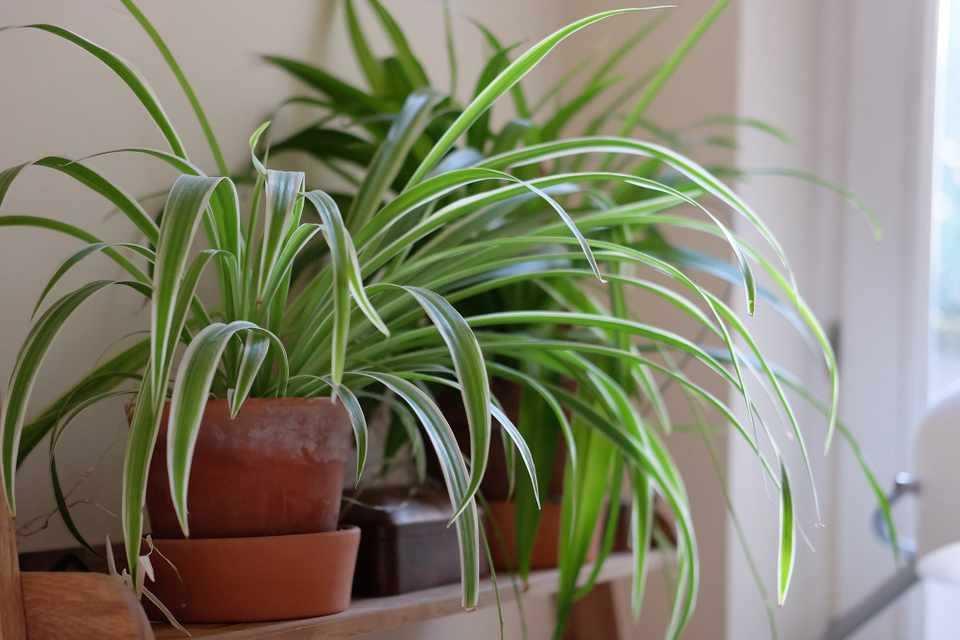 hlorofitum-foto-video-razmnozhenie-uhod-v-domashnih-usloviyah-8