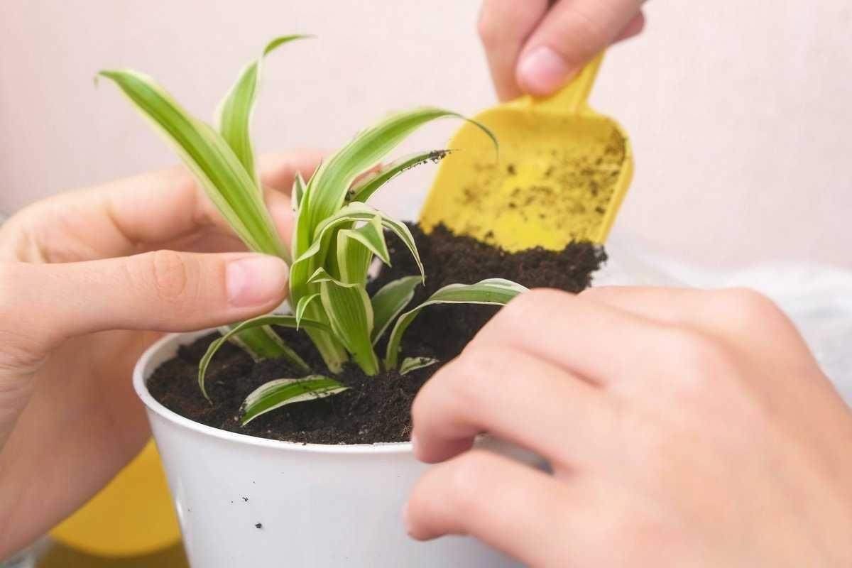 hlorofitum-foto-video-razmnozhenie-uhod-v-domashnih-usloviyah-9