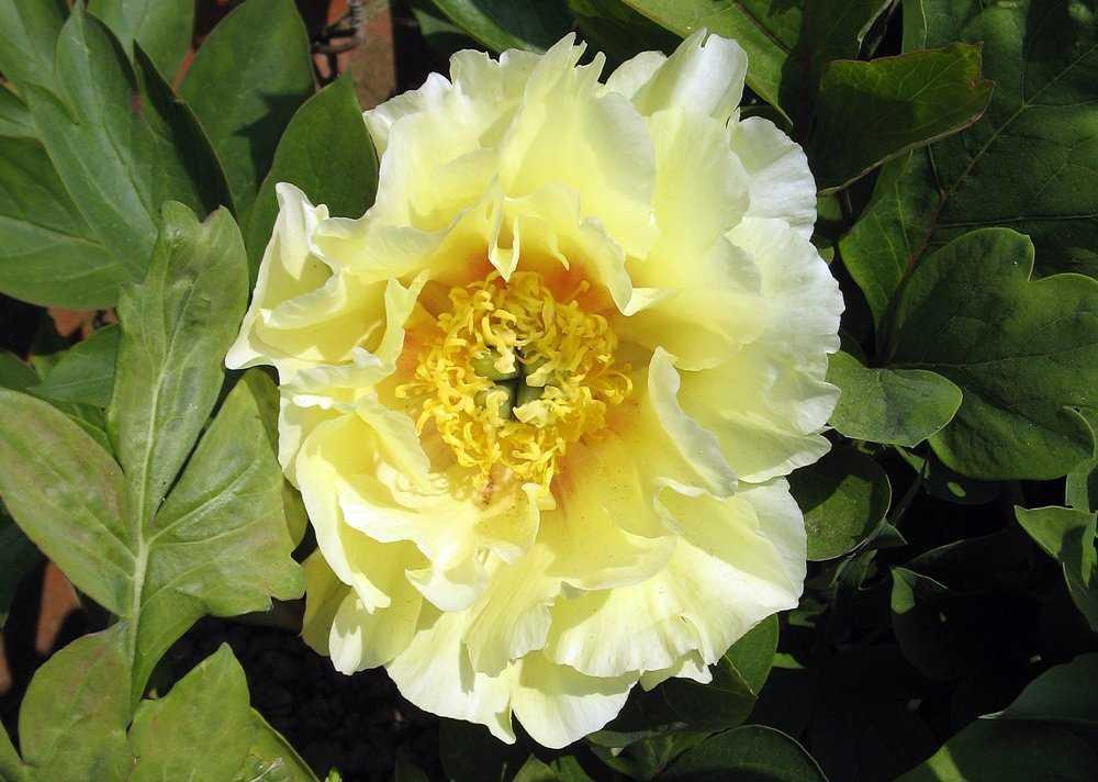 Ито-пион, сорт «Жёлтый рай» (Yellow Heaven).