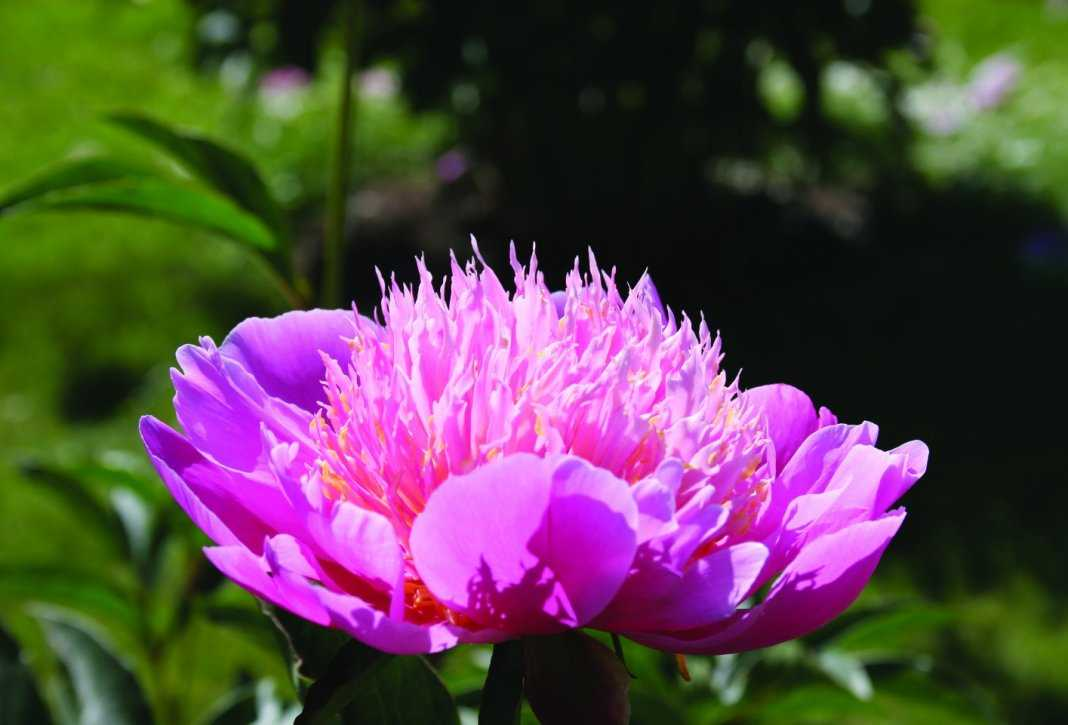 Пион молочноцветковый «Лилак Тайм» (Paeonia lactiflora 'Lilac Time').