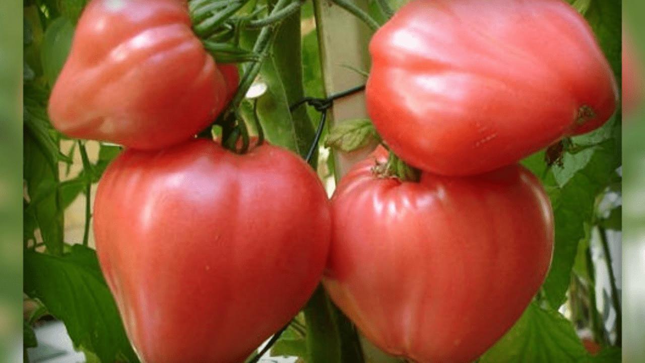 krupnye-tomaty-foto-video-luchshie-sorta-kogda-razmer-imeet-znachenie-4