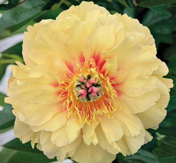 Пион ИТО-гибрид Гарден Треже (Garden Treasure).