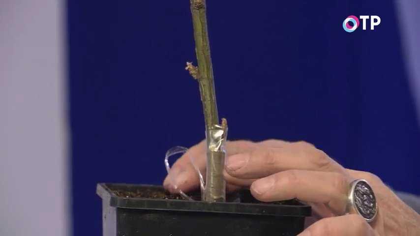 pion-drevovidnyj-foto-video-vidy-i-sorta-razmnozhenie-posadka-i-uhod-24