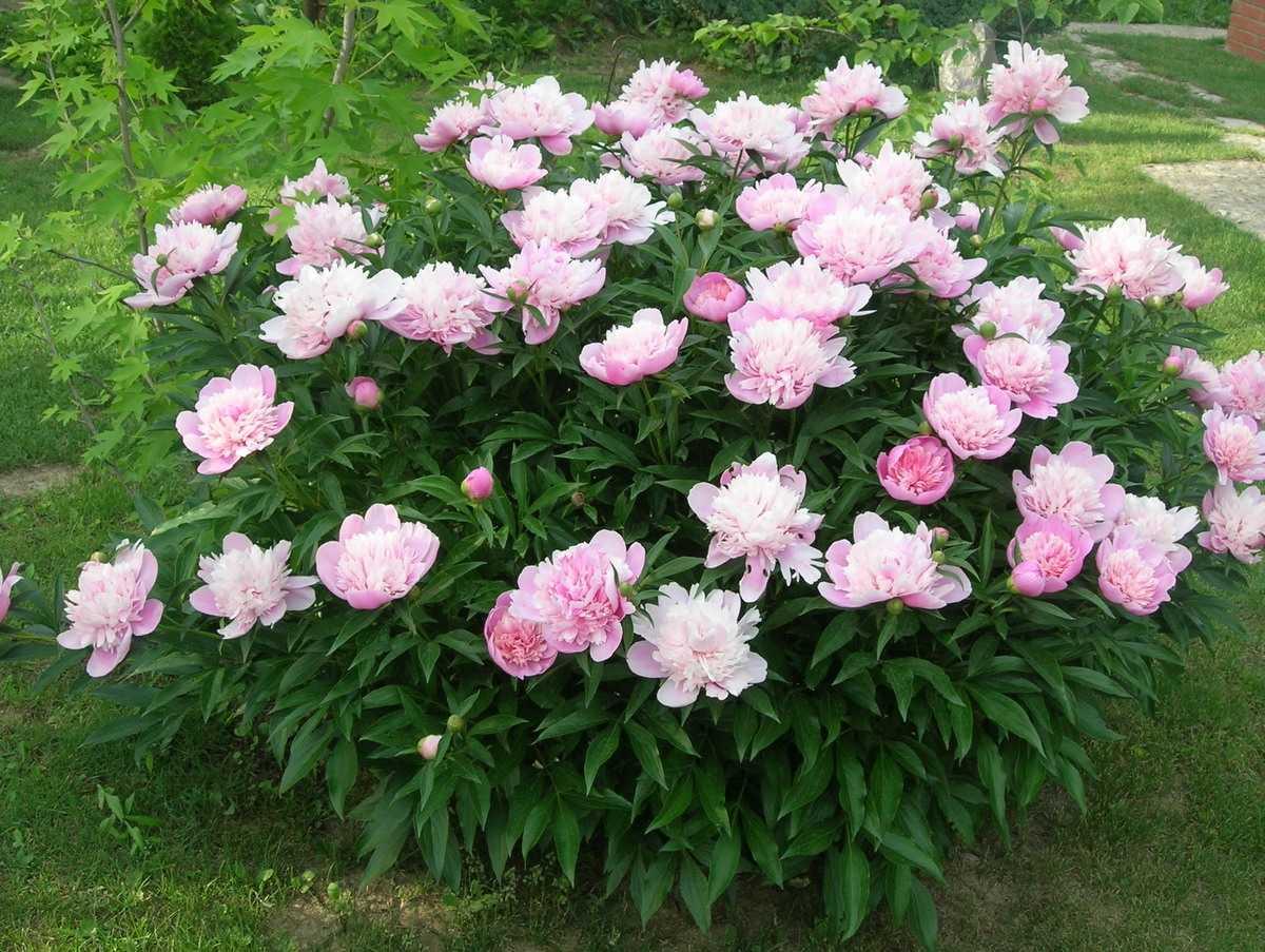 Фото кустовые тюльпаны тип