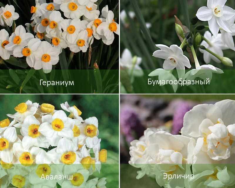 narcziss-foto-video-sorta-dlya-vyrashhivaniya-v-gorshke-v-domashnih-usloviyah-2