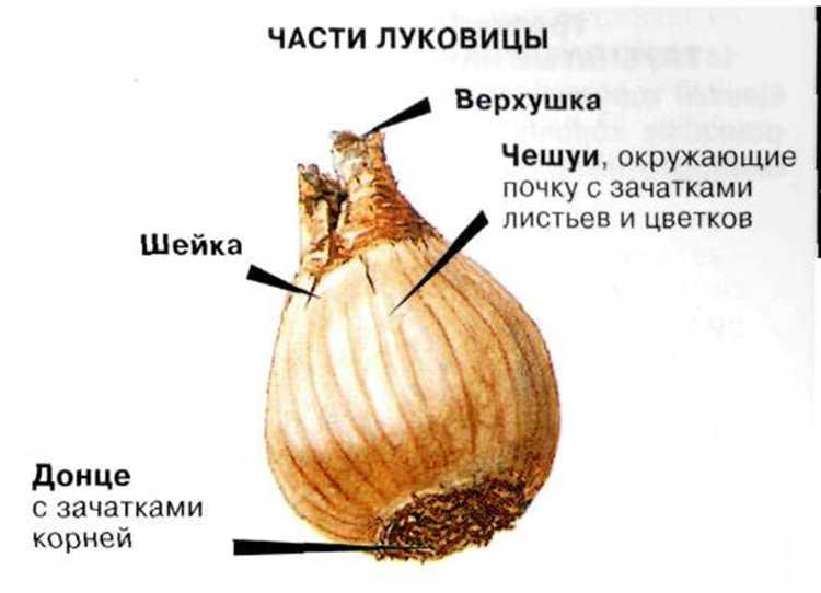 narcziss-foto-video-sorta-dlya-vyrashhivaniya-v-gorshke-v-domashnih-usloviyah-4