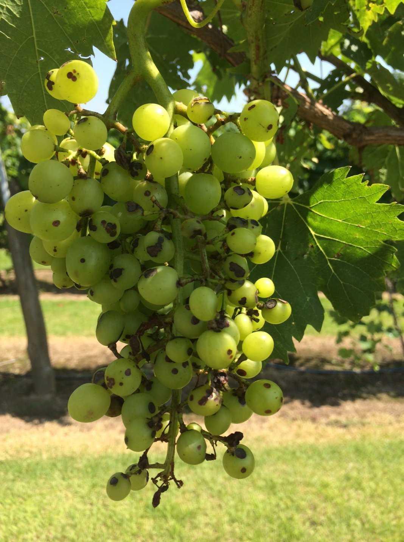 Антракноз на винограде.
