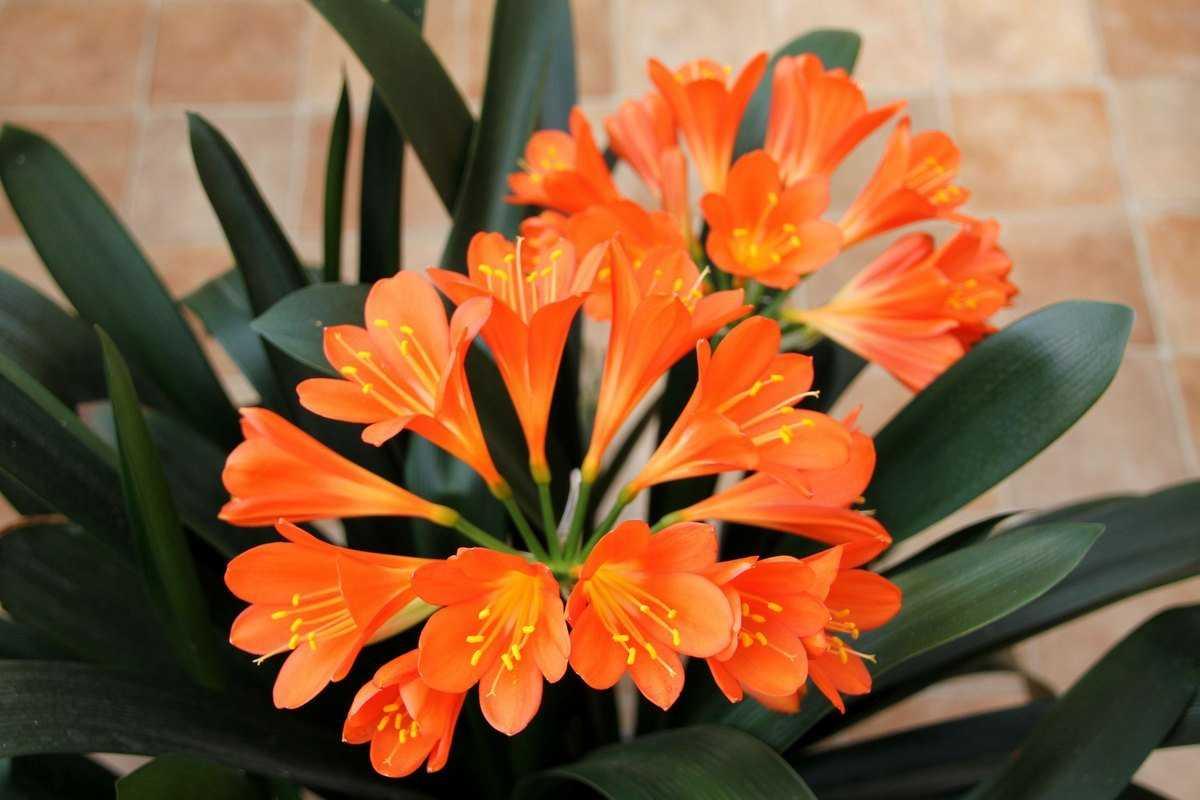 Кливия киноварная, или Кливия оранжевая (Clivia miniata).