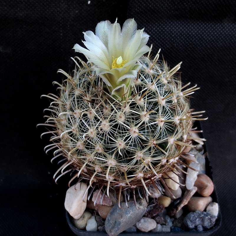 Анцистрокактус крупнокорневой (Ancistrocactus megarhizus).