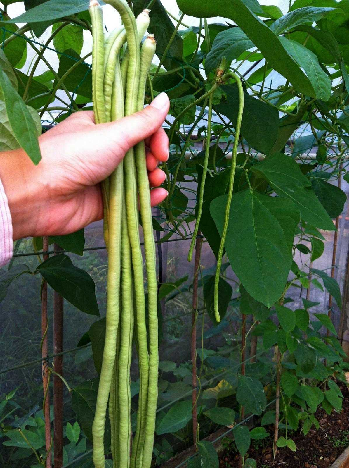 Бобы у вигны (Vigna) длинные, относительно тонкие.